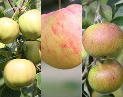 apple 'Discovery' / 'James Grieve' / 'Sunset' (family apple)