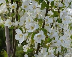 Malus brevipes 'Wedding Bouquet' (crab apple)