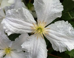Clematis 'Prince George' (clematis (group 3))