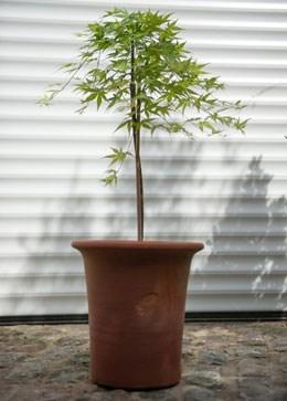 Acer palmatum 'Ryusen' (Japanese maple 'Ryusen')