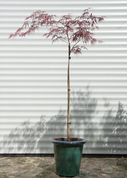 Acer palmatum (Dissectum Group) 'Garnet' (Japanese maple 'Garnet')