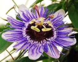 Passiflora 'Purple Haze' (passion flower)