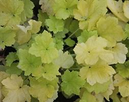 Heuchera 'Citronella' (PBR) (coral bells)