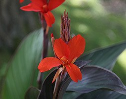 Canna 'E. Neubert' (Indian shot)