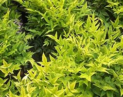 Nandina domestica 'Lemon and Lime (PBR)' (heavenly bamboo)