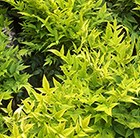 Nandina domestica Magical Lemon and Lime ('Lemlim') (PBR)