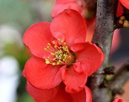 Chaenomeles 'Red Kimono' (flowering quince)