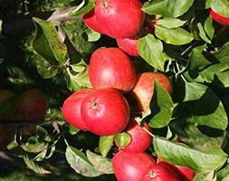 apple 'Little Pax' (apple)
