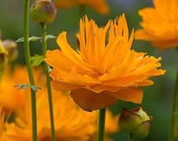 Trollius 'Dancing Flame' (globeflower)