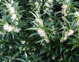 Sarcococca hookeriana 'Ghorepani' (christmas box)