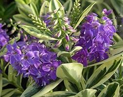Hebe x franciscana 'Variegata' (variegated hebe)