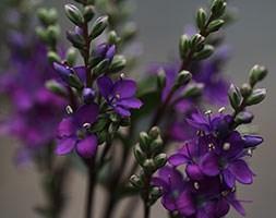 Hebe Garden Beauty Purple ('Nold') (PBR) (garden beauty purple hebe)