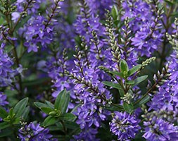 Hebe Garden Beauty Blue ('Cliv') (PBR) (garden beauty blue hebe)