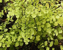 Adiantum x mairisii (mairis' maidenhair fern)