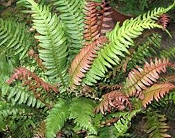 Doodia media (common rasp-fern)