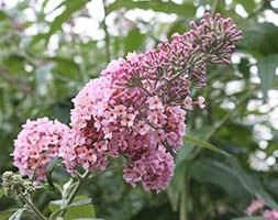 Buddleja x weyeriana 'Pink Pagoda' (PBR) (butterfly bush 'Pink Pagoda')