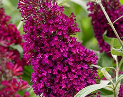 Buddleja Sugar Plum ('Lonplum') (PBR) (butterfly bush 'Sugar Plum')