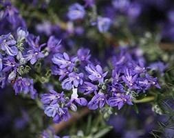 Rosmarinus officinalis 'Sissinghurst Blue' (rosemary)