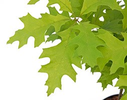 Quercus palustris 'Green Dwarf' (pin oak)
