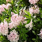 Rhododendron Bloombux = 'Microhirs3' (PBR)