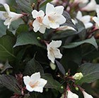 Weigela Ebony and Ivory