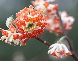 Edgeworthia 'Red Dragon' (paper bush)