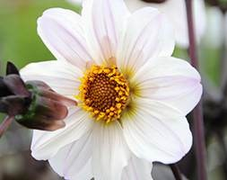 Dahlia 'Bishop of Dover' (single dahlia)