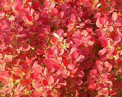 Berberis thunbergii 'Lutin Rouge' (PBR) (barberry)