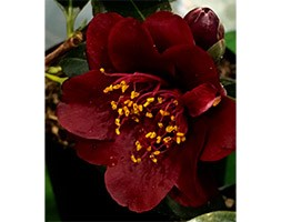 Camellia x williamsii 'Night Rider' (camellia)
