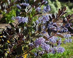 Ceanothus 'Tuxedo' (PBR) (Californian lilac)