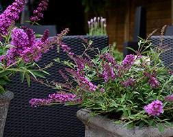 Buddleja 'Free Petite Dark Pink (PBR)' (butterfly bush Free Petite)