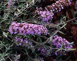 Buddleja davidii Free Petite Lavender ('Podaras 12') (PBR) (butterfly bush Free Petite)