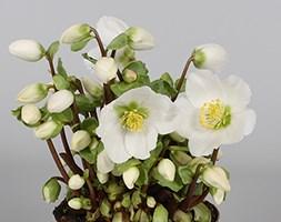 Helleborus 'Verboom Beauty' (Christmas rose hellebore)