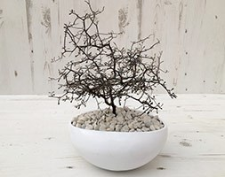 Corokia cotoneaster  (wire-netting bush)