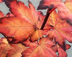 Acer circinatum 'Burgundy Jewel' (maple)