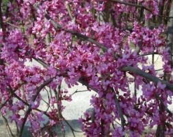 Cercis canadensis 'Lavender Twist  ('Covey') (PBR)' (American redbud)
