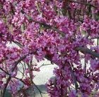 Cercis canadensis Lavender Twist ('Covey') (PBR)