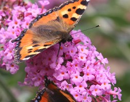 Buddleja 'Pink Delight' (butterfly bush)