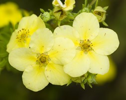 Potentilla fruticosa 'Primrose Beauty' (shrubby cinquefoil)