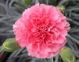 Dianthus Pink Fizz ('WP10 Xav04') (Scent First Series) (pot pink)