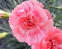 Dianthus Romance('WP09 Wen04') (Scent First) (PBR) (pot pink)