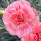 Dianthus Romance ('WP09 Wen04') (Scent First Series) (PBR)