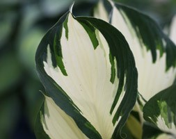 Hosta 'Fire and Ice' (plantain lily)