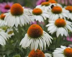 Echinacea purpurea 'Green Edge' (coneflower)