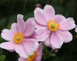Anemone x hybrida 'Montrose' (Japanese Anemone)