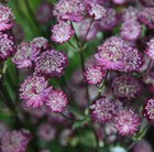 Astrantia Moulin Rouge (PBR)