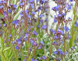 Anchusa azurea 'Dropmore' (alkanet)