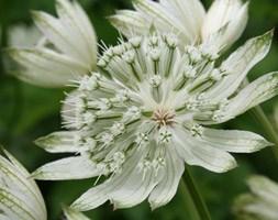 Astrantia major 'Large White' (masterwort)