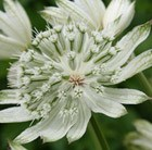 Astrantia major Large White