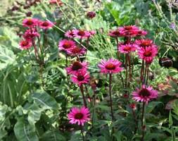 Echinacea purpurea 'Vintage Wine' (PBR) (coneflower)